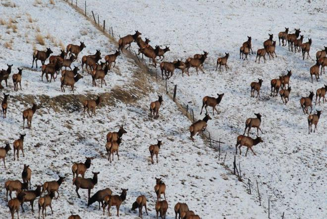 elk-jumping-fence