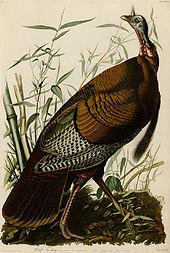 170px-1_Wild_Turkey