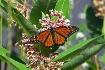 7459399-a-monarch-butterfly-on-a-milkweed-plant